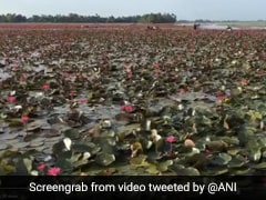 Kerala Village Turns Pink As Water Lilies Cover Paddy Fields