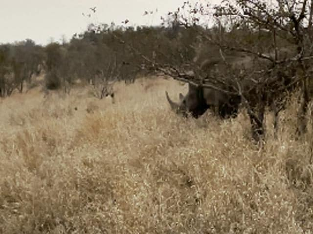Video : Rhino Charges At Lion To Protect Baby
