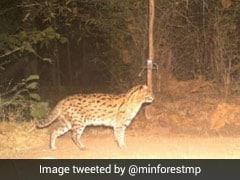 Endangered Fishing Cat Caught On Camera In Madhya Pradesh's Tiger Reserve