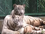 Video : In A First, A White Tiger Couple In Surat Zoo