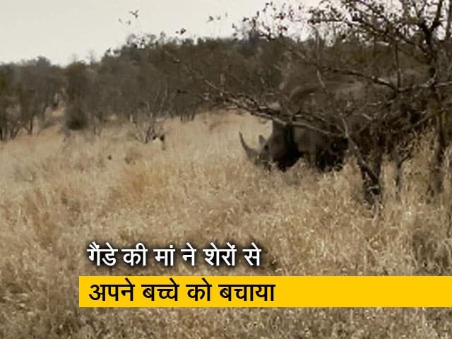 Video : वीडियो: शेरों के एक झुंड से गैंडे की मां ने अपने बच्चे को यूं बचाया