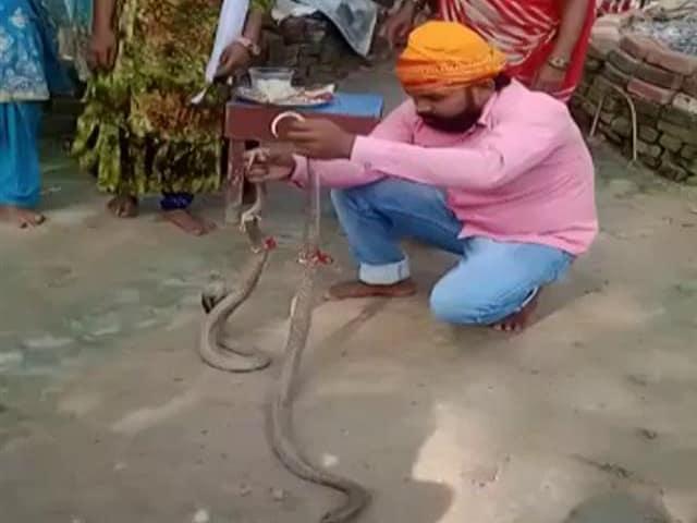 Video : On Camera, Bihar Man, 25, Bitten By Snake While Celebrating Rakhi; Dies