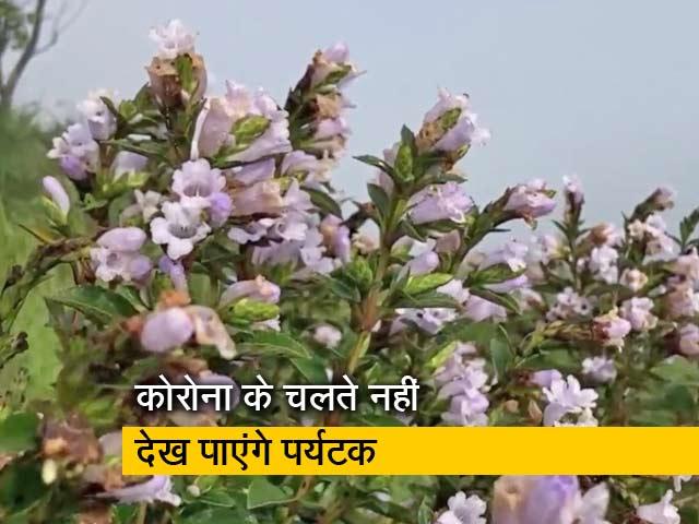 Videos : 12 साल में सिर्फ एक बार खिलते हैं Neelakurinji फूल, जानें क्यों है खास?
