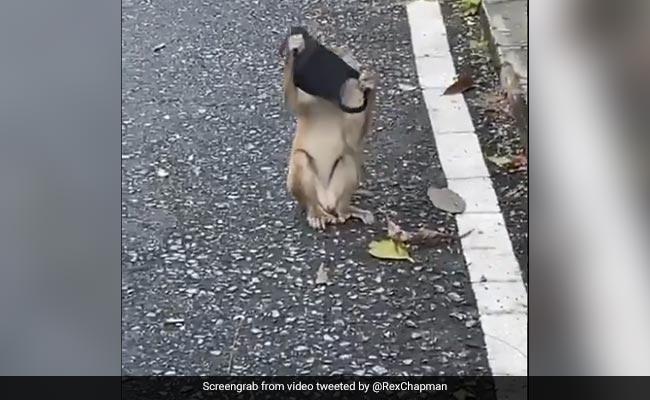 बंदर को भी कोरोना वायरस से लगता है डर, तभी तो इंसानों की उतारी नकल और मास्क पहनकर स्टाइल में करने लगा Walk