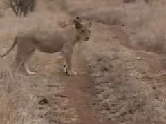 Watch: Rhino Charges At Lion To Protect Its Baby