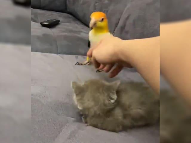 Videos : बिल्ली के ऊपर आया तोते को गुस्सा