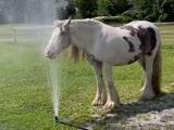 Video: फव्वारे के पानी में कुछ इस तरह घोड़े ने पिया पानी