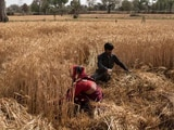 Video : Centre Raises Wheat Purchase Price By 2% Amid Farmers' Protest