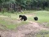 Video : Watch: Bears Seen Playing Football In Odisha Village
