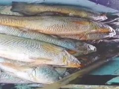 Maharashtra Man Nets 'Fish With Heart Of Gold', Takes Home Over Rs 1 Crore