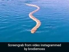 Viral Video: Man Films Huge Sea Snake Swimming Up To Him