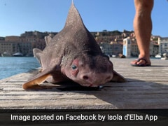 Sailors Baffled By 'Pig-Faced' Shark Caught In Italy. Pics Are Viral