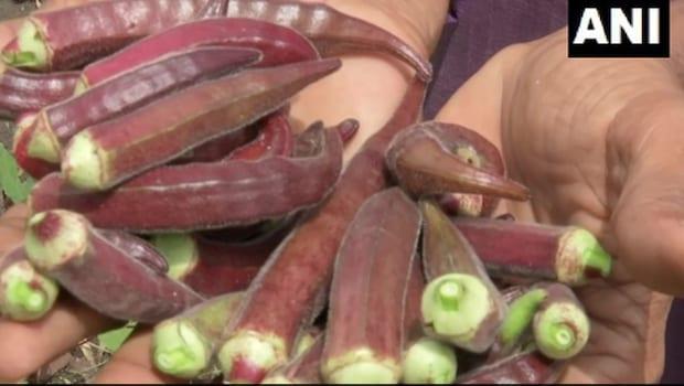 Wait, What? Madhya Pradesh Farmer Grows Red Ladyfinger In His Garden