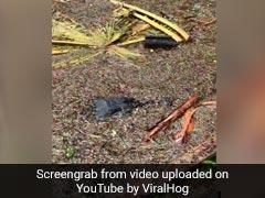 Watch: Alligator Surprise During Hurricane Ida
