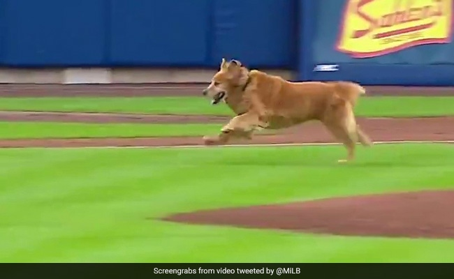 Watch: 'Rookie' The Dog Interrupts Baseball Game. No One's Complaining