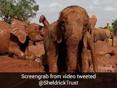 Watch: Baby Elephant's Mud Bath Wins The Internet