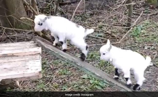 बकरी के बच्चे लकड़ी के पटरे पर चढ़कर झूल रहे थे, लोग बोले- जीवन के उतार-चढ़ाव को ऐसे करें एन्जॉय - देखें Cute Video