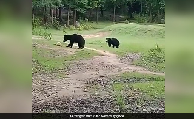 , Viral Video: Wild Bears Seen Playing Football In Odisha, The World Live Breaking News Coverage & Updates IN ENGLISH
