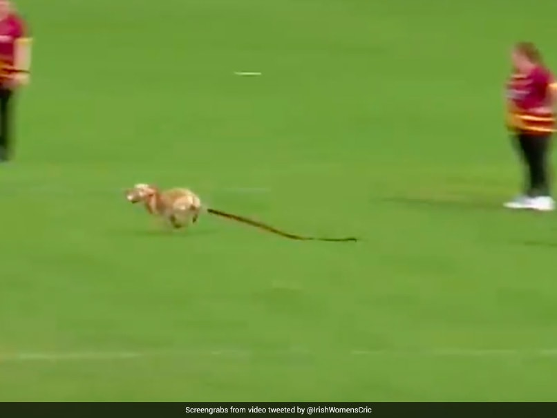 """Watch: """"Small Furry Pitch Invader"""" Interrupts All-Ireland T20 Womens Cup Match"""