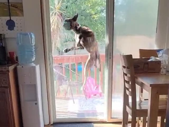 Video : Boxer Caught On Camera Jumping At The Door