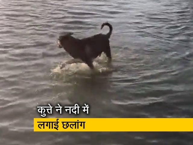 Video : खेलते-खेलते नदी में चली गई बॉल तो निकालने के लिए कुत्ते ने लगा दी छलांग