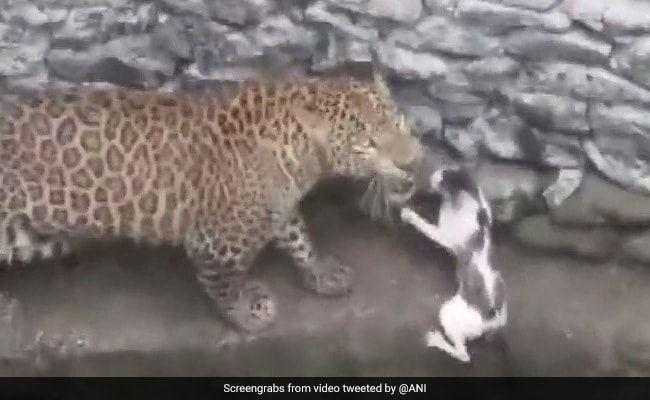 Video: Leopard, Cat Fall Into Well During Chase. Here's What Happened Next
