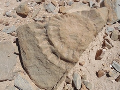 Jurassic-Era 'Winged Lizard' Unearthed In Chile