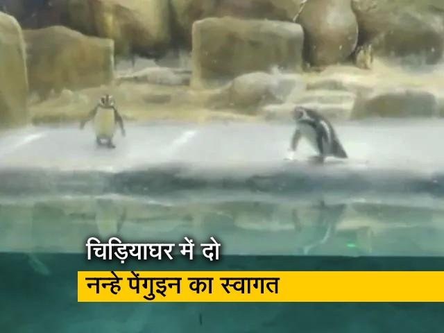 Video : मुंबई के भायखला चिड़ियाघर में दो नन्हे पेंगुइन का स्वागत