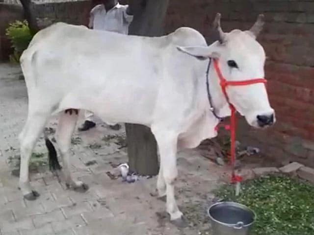 """Video : """"Cow Protection Should Be Fundamental Right"""": Allahabad High Court Order"""
