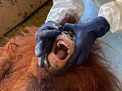 Vets In Full Gear Give Malaysia's Endangered Orangutans Covid Swabs