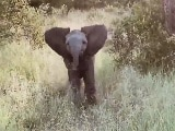 Video : हाथी के बच्चे ने की डराने की प्रैक्टिस