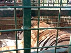 "Elusive ""Maneater"" Tiger Captured Alive In Tamil Nadu's Nilgiris"