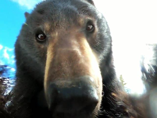 Video : भालू को मिला खोया हुआ कैमरा, खुद लगा वीडियो शूट करने