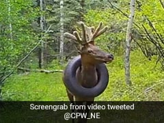 Watch: US Elk With Tire Around Its Neck For 2 Years Is Free At Last