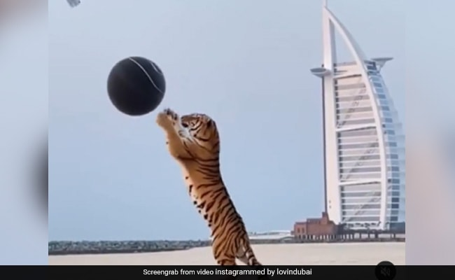 Viral Video: Tiger Used In Gender Reveal Party Sparks Outrage