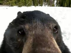 Watch: A Bear Gets Curious After Finding A GoPro Camera In Snow