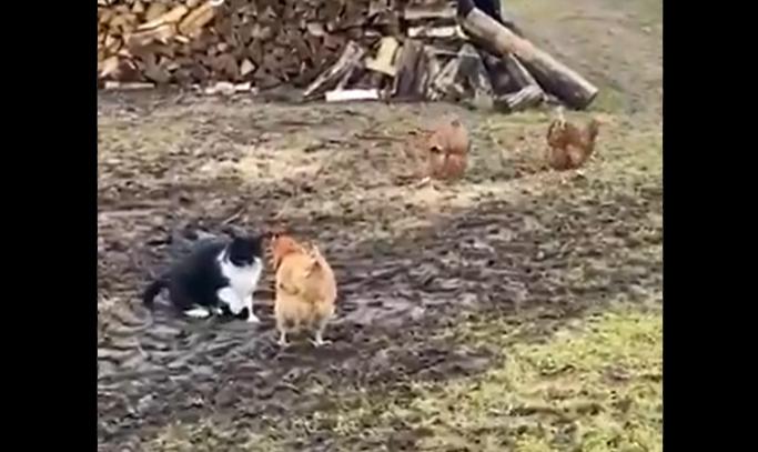 मुर्गियों की मार से बिल्ली मौसी हुई हैरान, परेशान होकर बचाई अपनी जान!