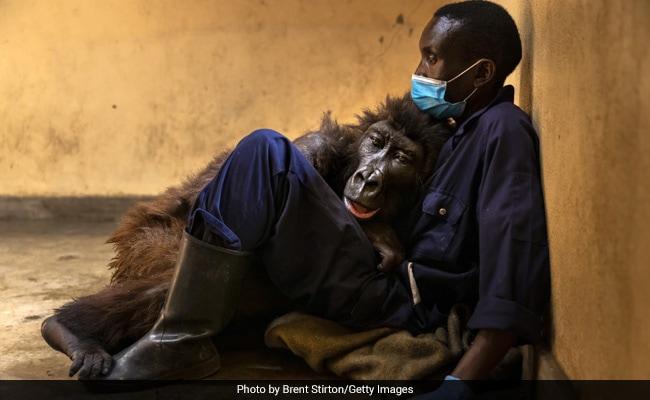 Ndakasi, Mountain Gorilla In Viral Photobomb Selfie, Dies In Her Caretaker's Arms