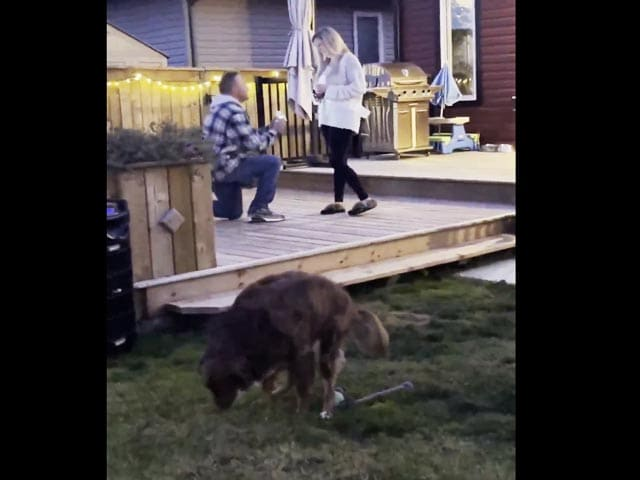 Video : Dog Hilariously Ruins Marriage Proposal Video