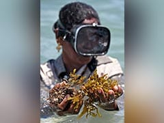 """Women Show The Way As India Pushes """"Miracle Crop"""" Eco-Friendly Seaweed"""