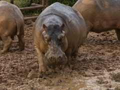 Narco Pablo Escobar's Lawyered-Up Hippos Recognised As People By Court