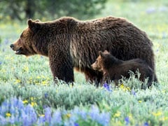 For Grizzly Bear Hunt, Man Intends To Shoot Them. But Not With A Gun