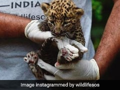 In Maharashtra, Two Kids Woke Up To Find A Leopard Cub Napping Next To Them