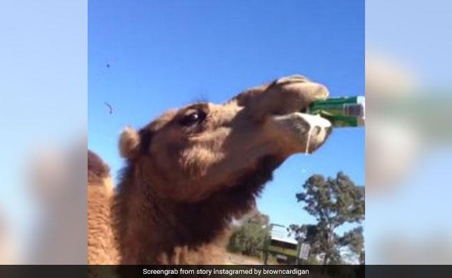 शख्स ने ऊंट को बीयर ऑफर की तो छीनकर ऐसे खत्म कर दी पूरी, Viral हुआ VIDEO