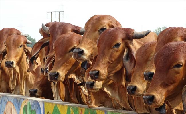 Rajasthan Government To Honour Those Who Adopt Stray Cows