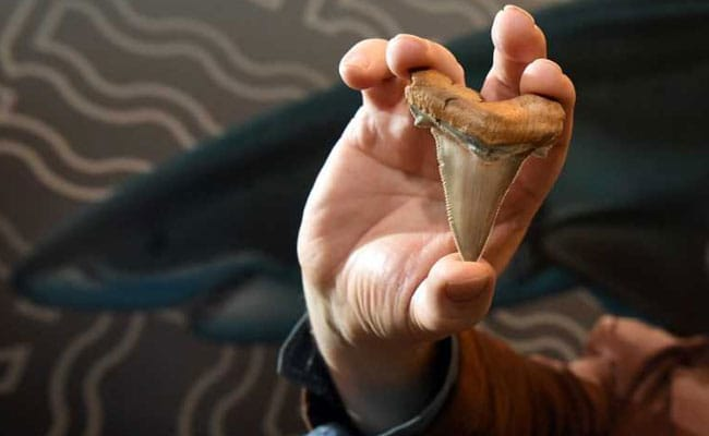 Prehistoric leftovers of colossal shark feast uncovered after shark teeth discovery