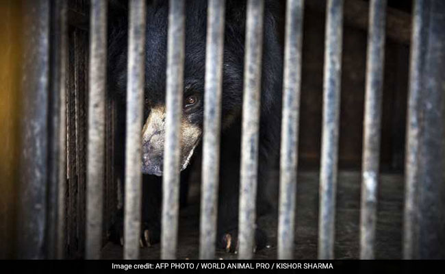 Nepal's Last Known Dancing Bear Finds Home In Indian Sanctuary