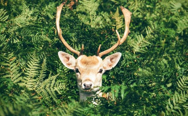 A Dutch Town's Novel Plan To Keep Deer At Bay: Eau De Lion Dung