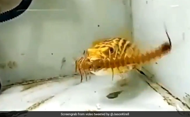 Pufferfish Eats Snake, Scorpion And Centipede. Video Is Stuff Of Nightmares