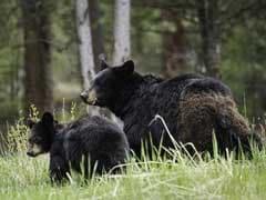 "Hunters Killed A Mother Bear, Two ""Shrieking"" Newborn Cubs In Their Den"